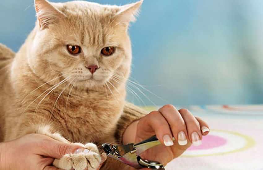 猫咪指甲修剪及防止断裂护理